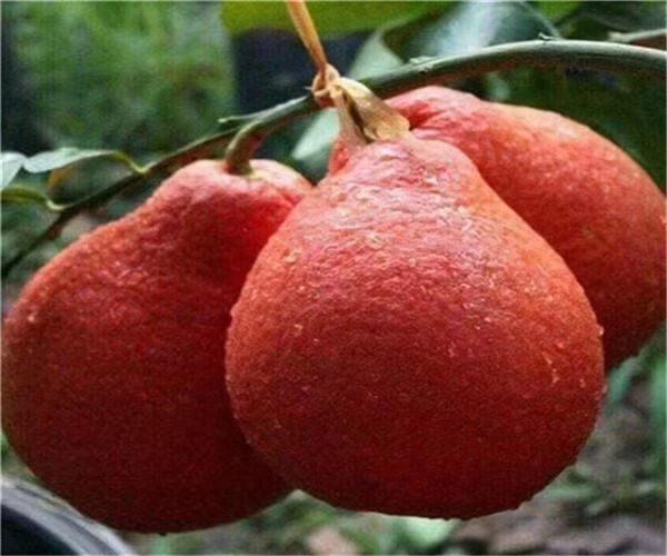 阳泰国暹罗三红柚多少钱一棵