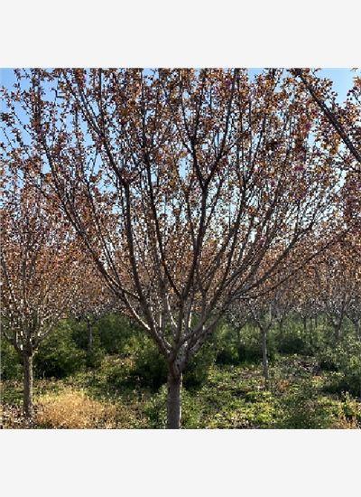 山东省各种规格樱花精品--泰安福顺园林