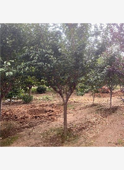 山东省16公分樱花货源充足--泰安福顺园林