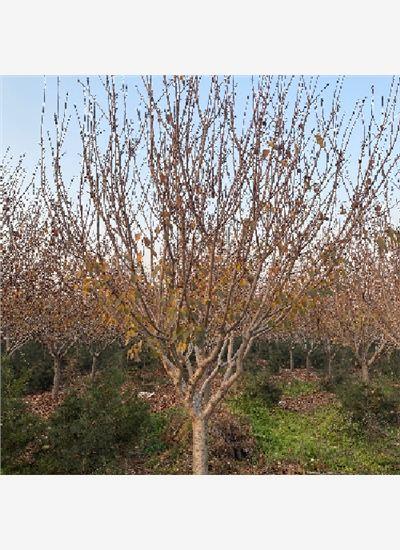 岱岳8-10公分樱花病虫害管理--福顺园林