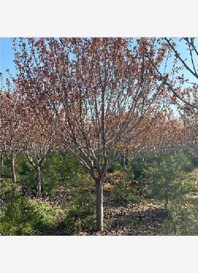泰安13公分樱花优惠--福顺园林