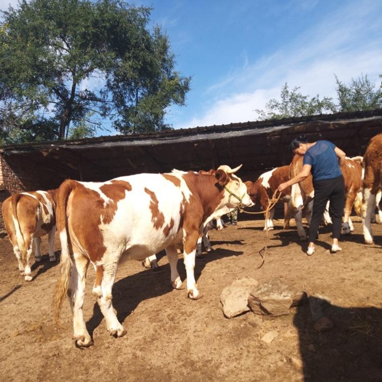 黔东南苗族侗族自治州四代西门塔尔小母牛价钱