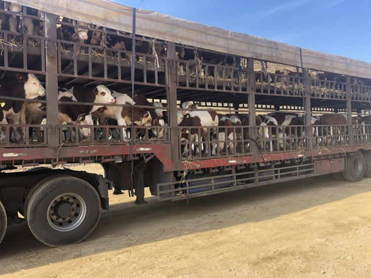 大兴安岭地区西门塔尔小母牛多少钱