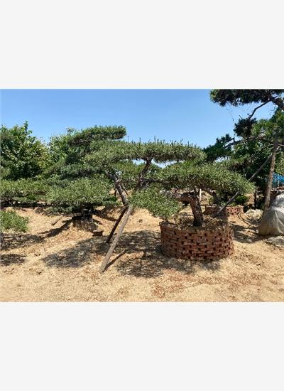 济宁高度7米造型景观松发货价--福顺园林