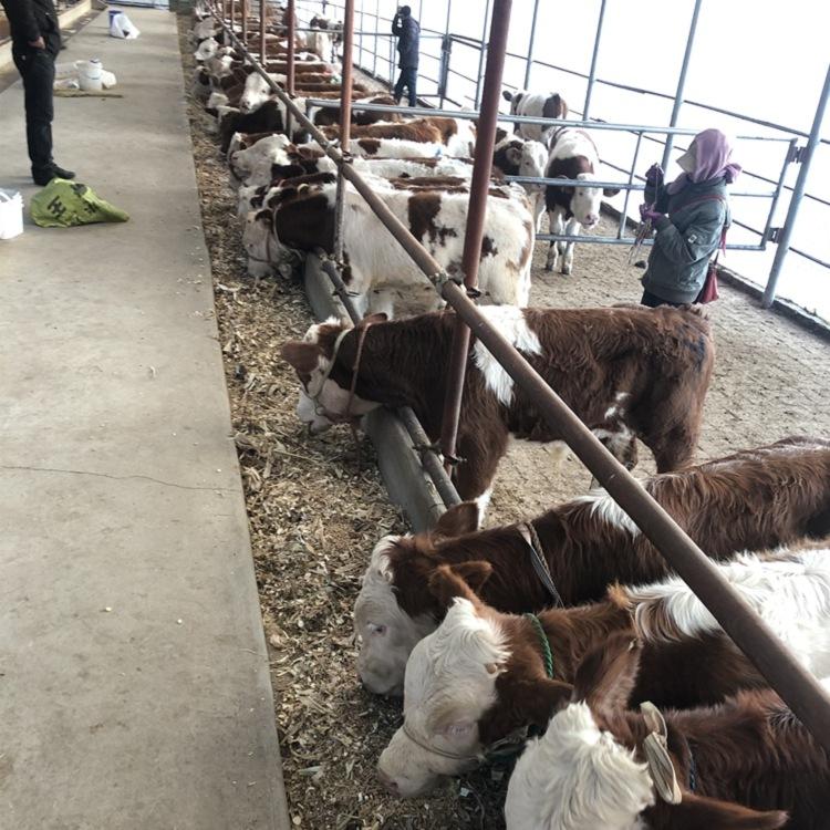 嘉兴南湖5个月西门塔尔牛犊多少钱怎么样