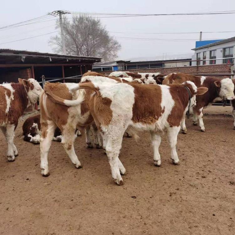 乌兰察布市西门塔尔种牛基地3个月小牛多少钱一只