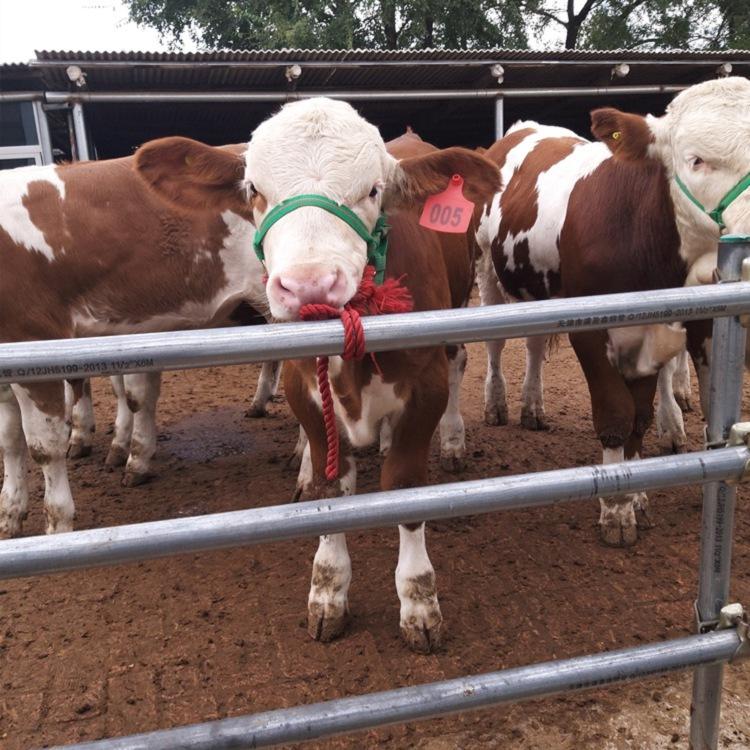 西宁西门塔尔母牛苗价格在线咨询