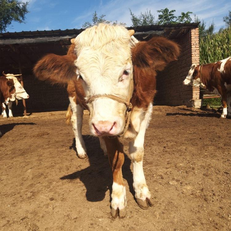 唐山市斤西门塔尔牛犊小母牛多少钱