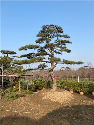 泰山8公分造型景观松成活率好--福顺园林