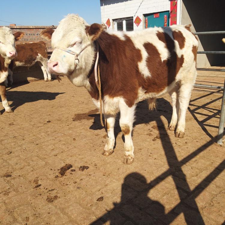 厦门市大型西门塔尔牛养殖场点击