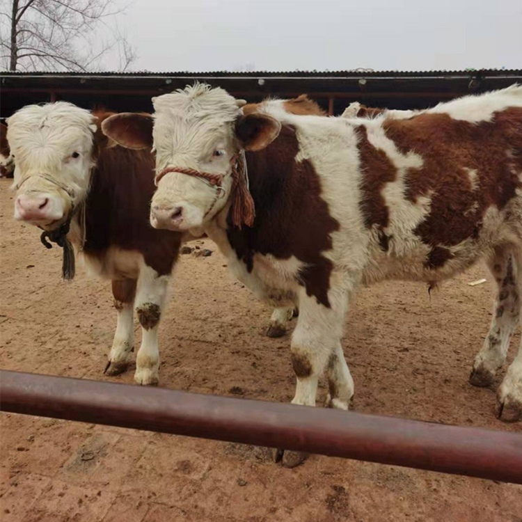 连云港市大型西门塔尔牛养殖基地西门塔尔牛犊子多少钱一头