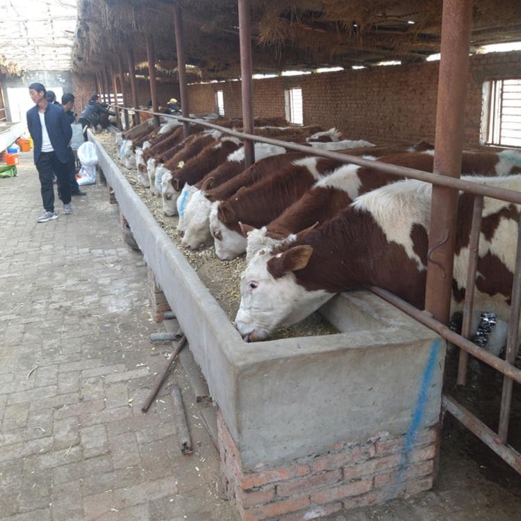伊春市西门塔尔小母牛苗价格多少钱