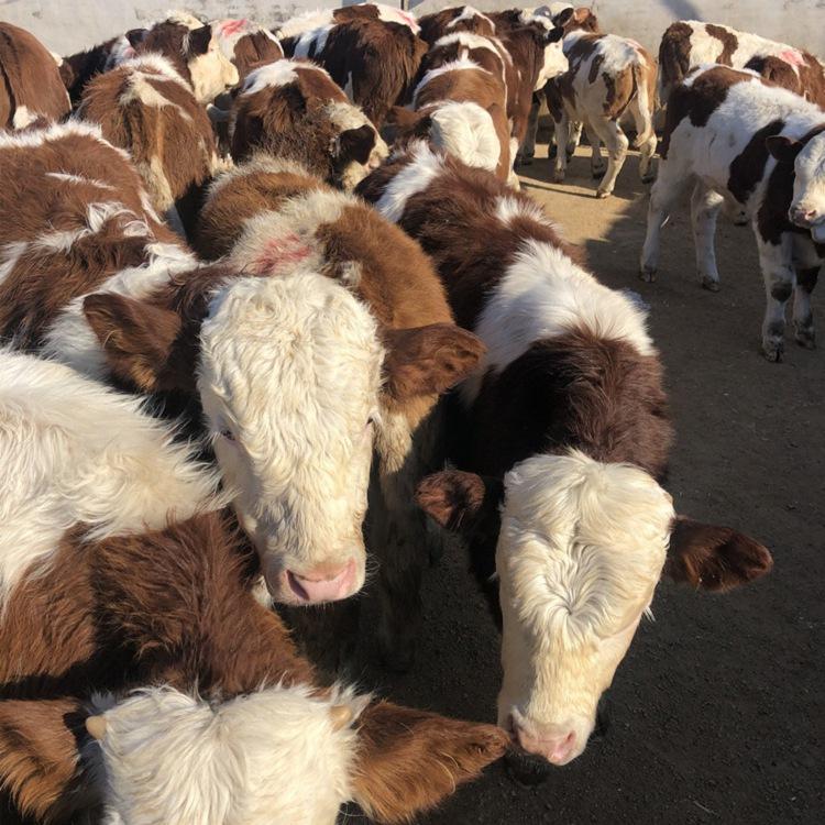 嘉峪关市西门塔尔二岁母牛多少钱