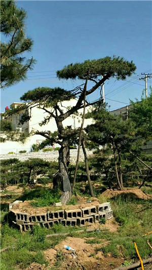山东泰安各种规格造型景观松推荐--福顺园林