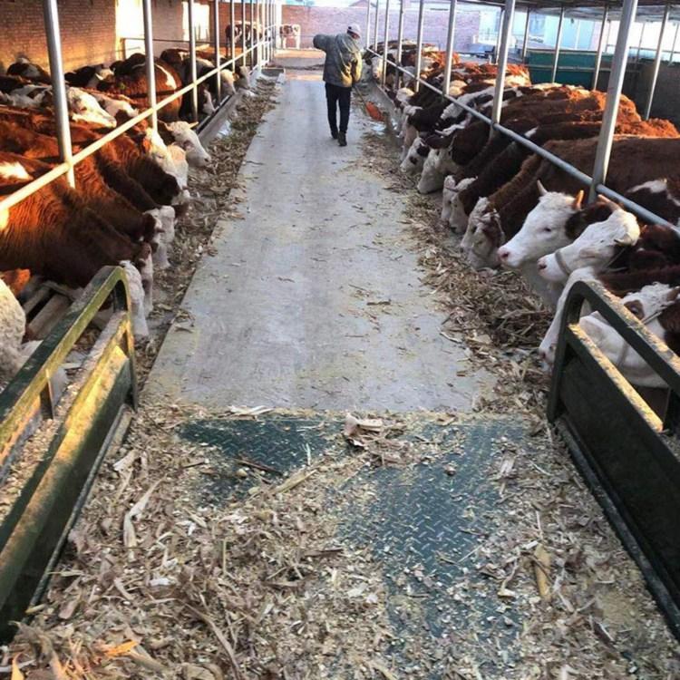 安阳市西门塔尔牛养殖基地西门塔尔牛犊多少钱一只