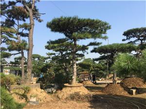 济宁高度5米造型景观松一级货--福顺园林