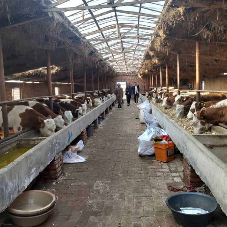 潮州市西门塔尔种牛基地斤西门塔尔牛犊多少钱一只