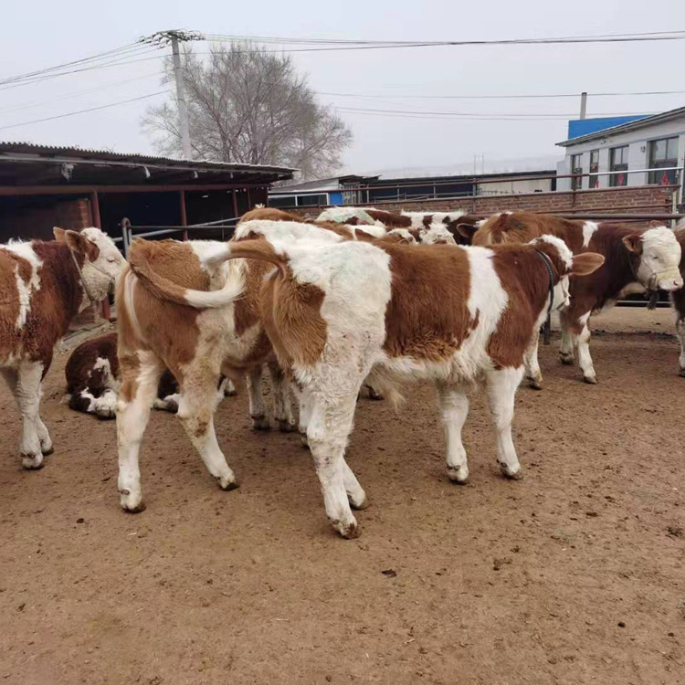 嘉兴市大型西门塔尔牛养殖基地西门塔尔二岁母牛多少钱一头