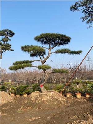 泰山40公分造型景观松大图--福顺园林