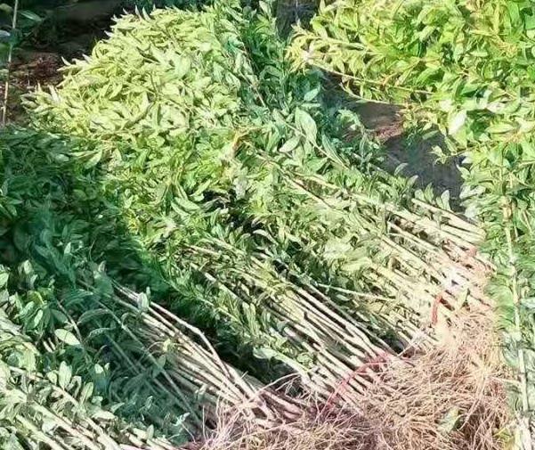 盂县6公分石榴苗6公分石榴苗土球价格