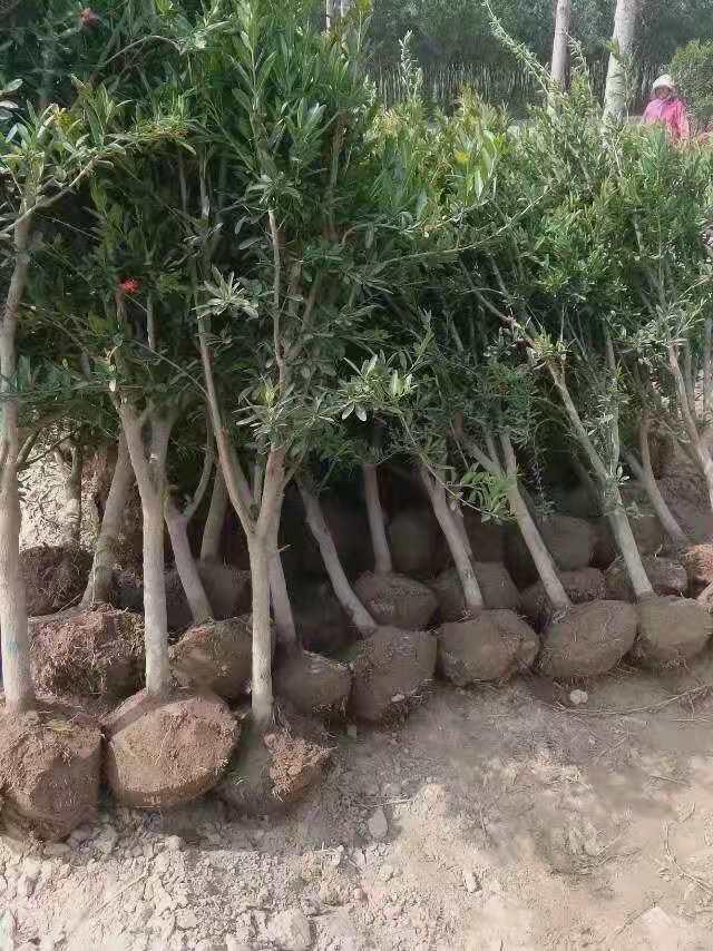 远安黑籽石榴苗1公分石榴苗繁育销售