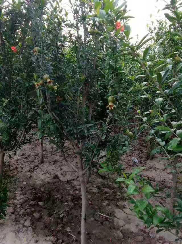 西陵6公分石榴苗3公分突尼斯石榴苗出售