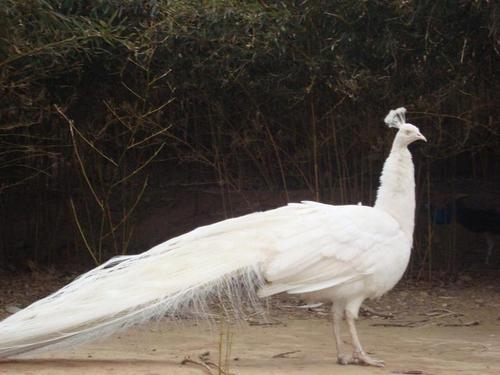 延边白孔雀-杂交孔雀养殖基地在哪