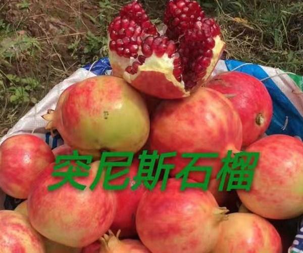 宁阳突尼斯软籽石榴苗1公分石榴苗繁育销售
