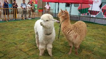 阎良区萌宠-双色羊驼种类齐全