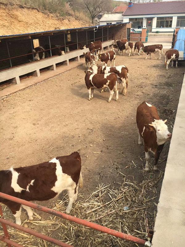 周口西门塔尔小母牛多少钱一头在线咨询