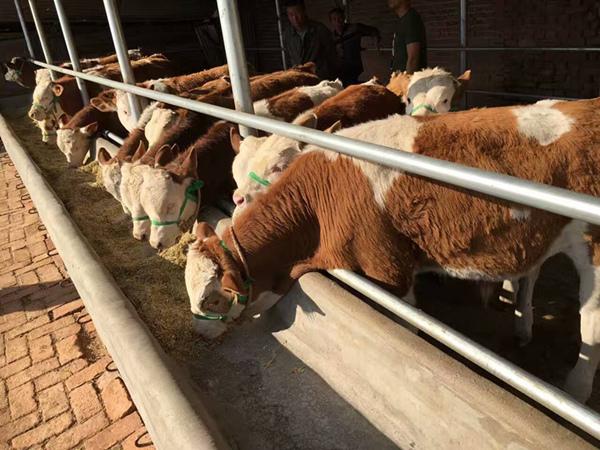 南宁3个月小牛多少钱一只详细解读