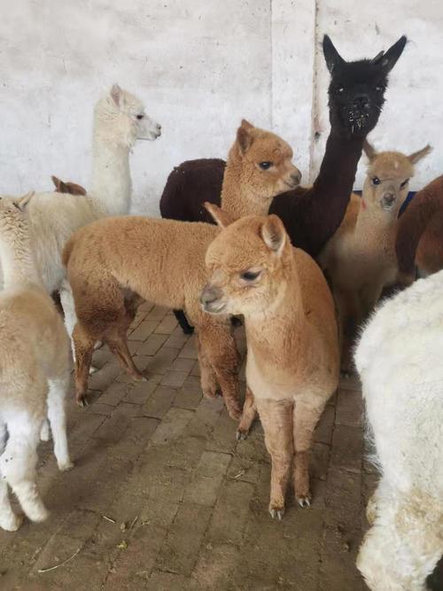 徐州市铜山区苏利羊驼养殖场