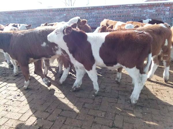信阳二岁西门塔尔母牛价钱在线咨询