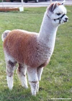 合肥双色羊驼-羊驼幼崽出售
