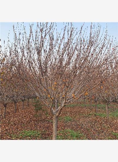 泰安1-5公分樱花推荐--福顺园林
