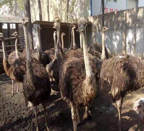 佳木斯红颈鸵鸟-蓝颈鸵鸟多少钱