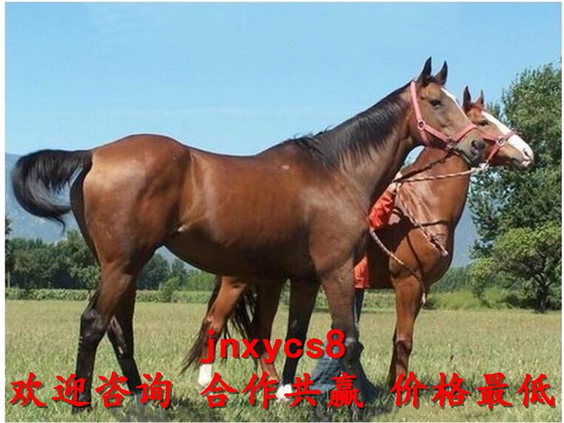 景区骑乘马网红柯尔鸭出售厂家联系电话,河池