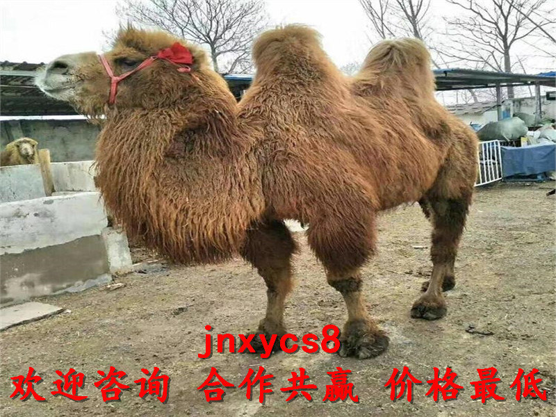 哪里有卖柯尔鸭的景区骑乘马厂家出售欢迎来电,莱芜