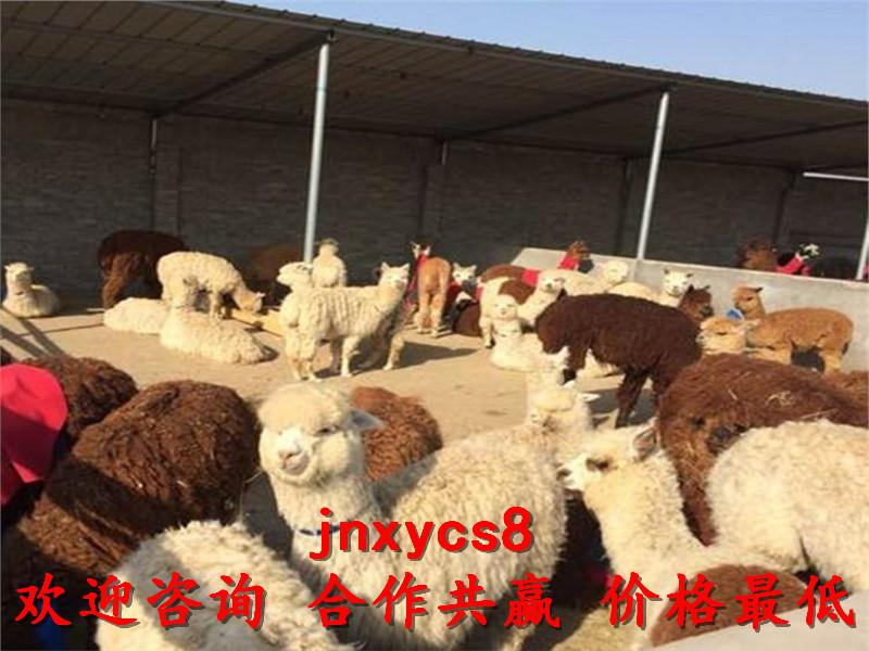 网红柯尔鸭成年骆驼出售厂家联系电话,吉安