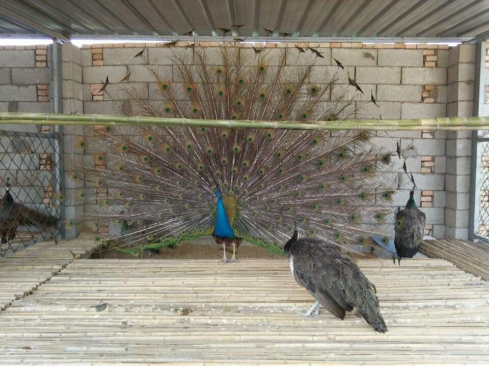 孔雀养殖,福州两年的孔雀 ,休闲山庄观赏孔雀出售,鸿金源养殖