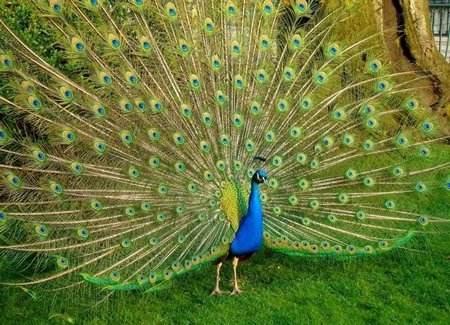 孔雀养殖  成年孔雀供应商家  观赏成年孔雀价格
