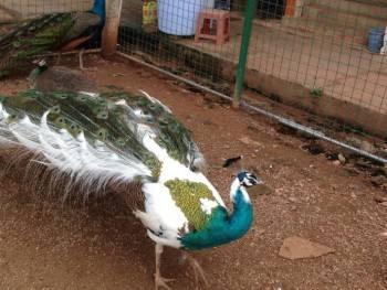 孔雀养殖  活体孔雀附养殖场  景区园林观赏孔雀在线咨询