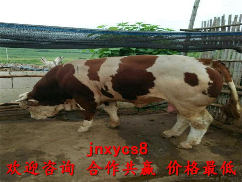 夏洛莱肉牛肉牛犊行情,赣州