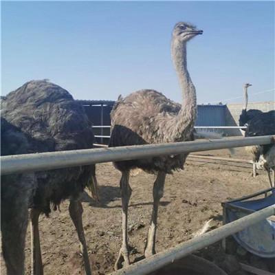 唐山成年鸵鸟购买电话