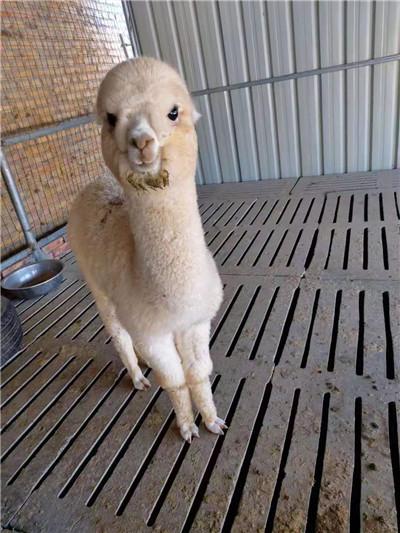 绥化设特兰矮马厂家出售电话  宠物羊驼多少钱