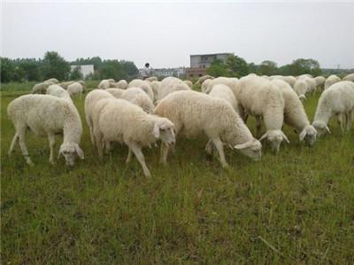 河南湖羊多少钱一头