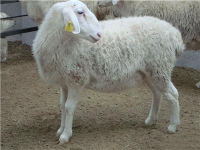迪庆湖羊价格 杜泊绵羊养殖场常年出售
