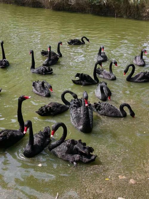 城口天鹅-黑天鹅养殖基地