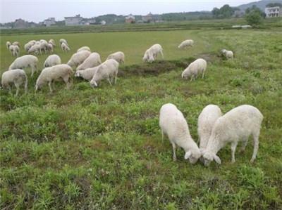 石家庄小尾寒羊哪里有