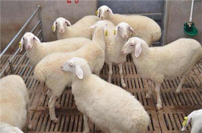 张家口  【养羊】 小尾寒羊品种鉴别----(牧旺养殖)-养羊的利润